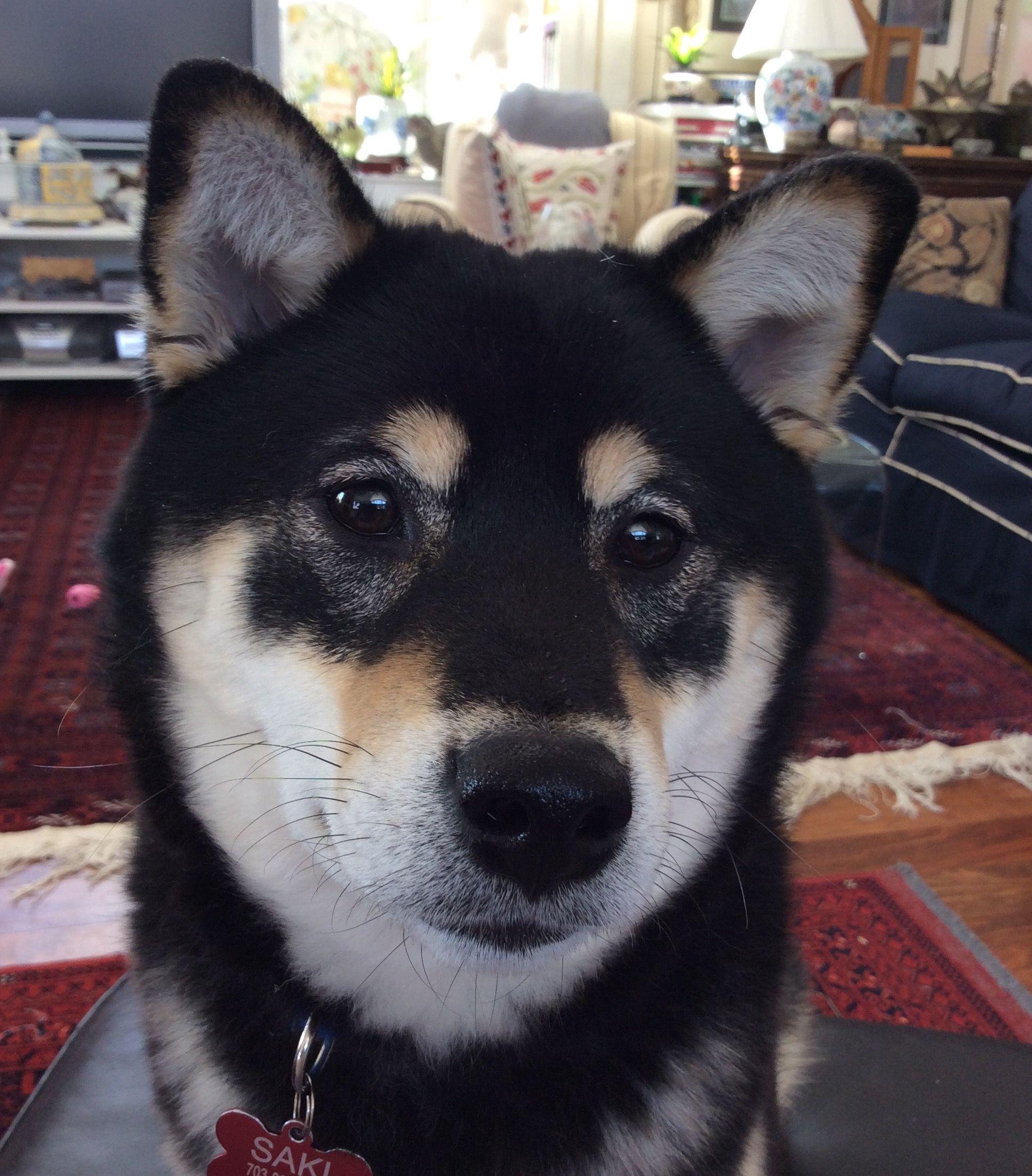 Saki 7 Month Old Black Tan Shiba Inu Shiba Inu Cute Dog Photos Best Dogs