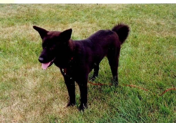 Auburn In Lostdog 7 9 13 Cr 54 11 Yr Old Black Lab And Chow Mix