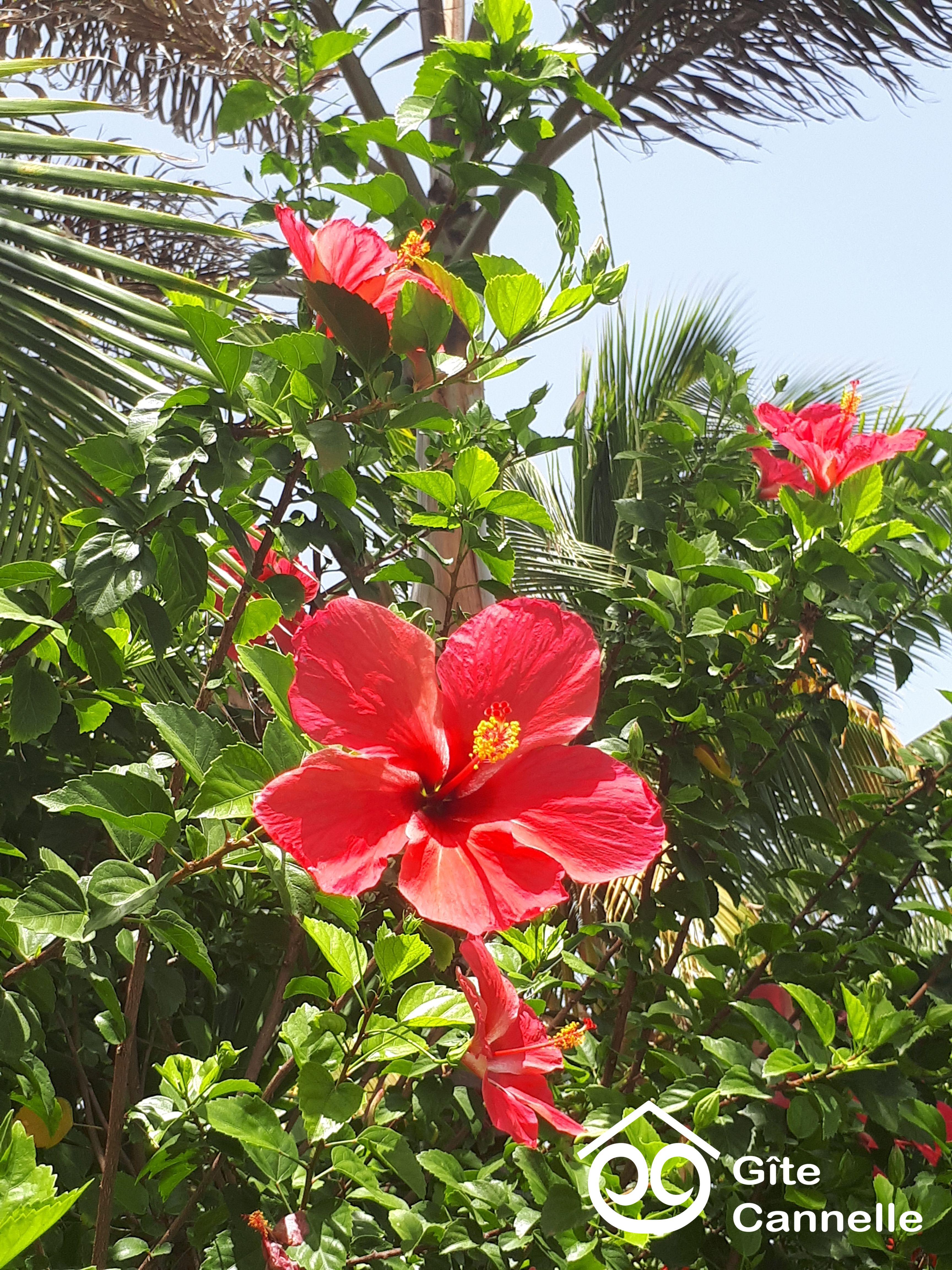 Les hibiscus du jardin du Gîte Cannelle à Saint-François en ...