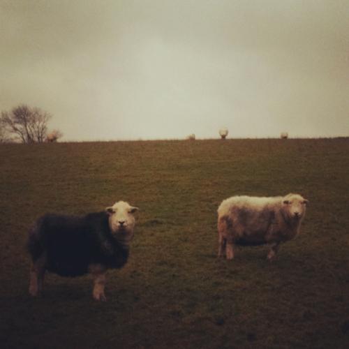 baa baa black sheep, have you any wool?