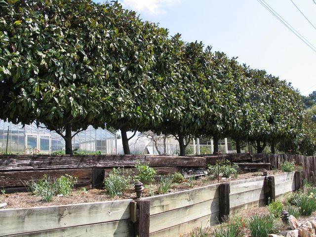 Magnolia Grandiflora Peached Hedge Pleached Privacy Screen Small