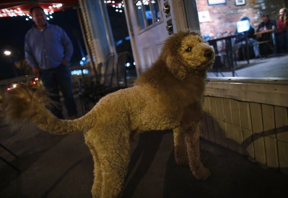 Baby Lion On The Loose Turns Out To Be Coiffed Labradoodle With