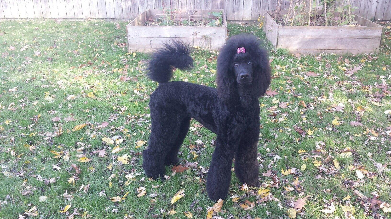7 5 Month Old Standard Poodle Puppy Dogs For Sale Poodle Puppies