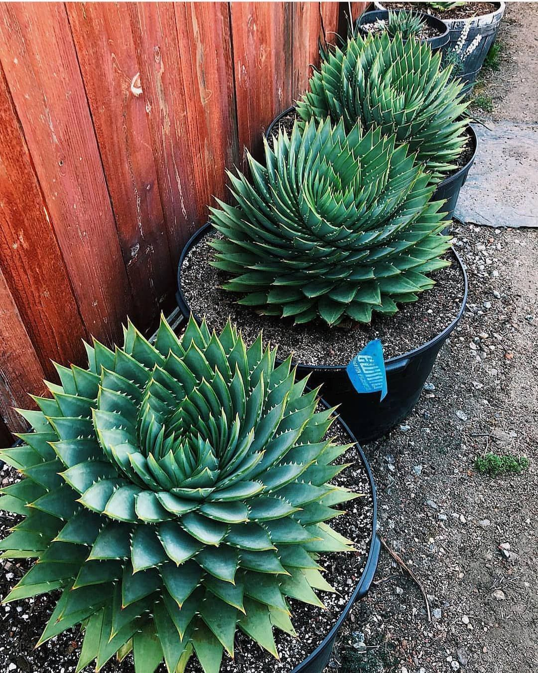 Amazing Spiral aloe shot by plant.list 🌱 Succulent seed