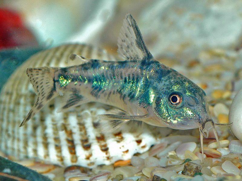 Corydoras Paleatus Peppered Cory Cat Note The Green Highlights A Nice Catfish For Any Aquarium C Fresh Water Fish Tank Tropical Fish Tanks Aquarium Fish