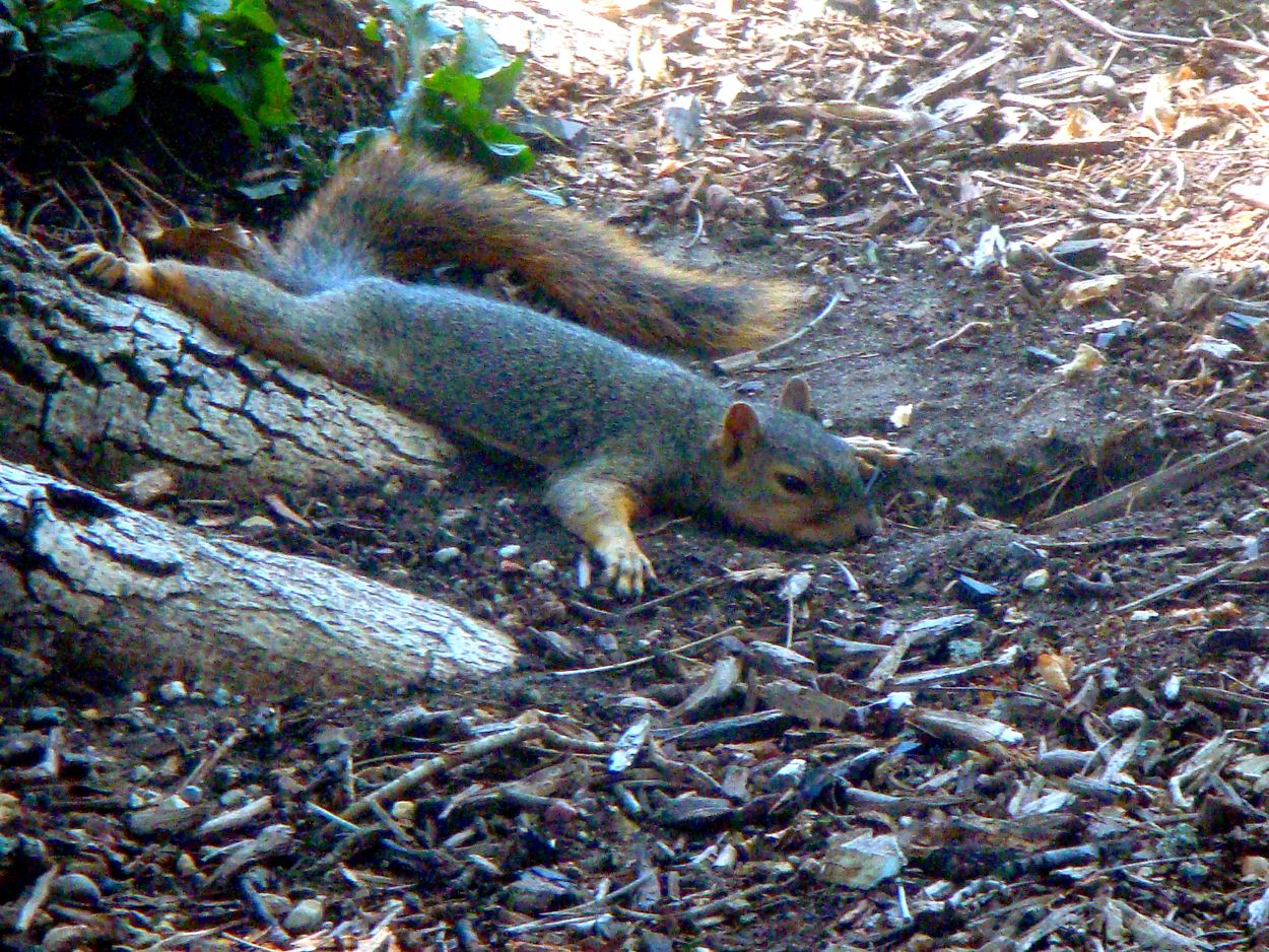 So hot in Texas today that the squirrels are melting