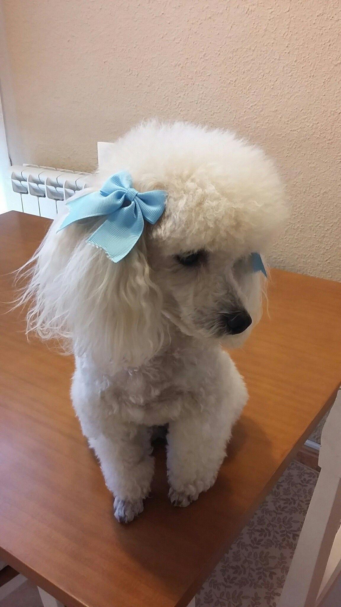 More About The Very Smart Poodle Dog Size Poodleloversinsta