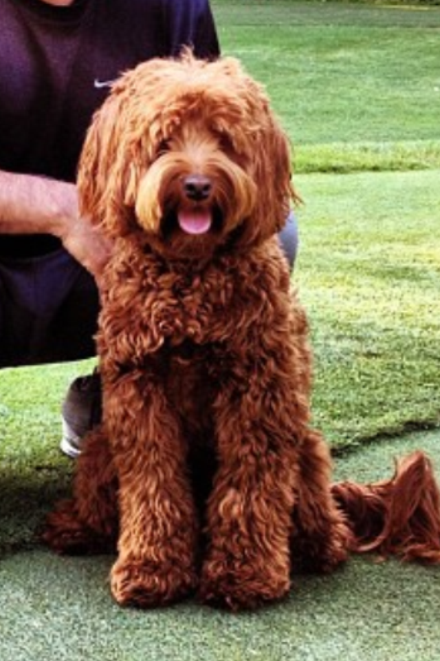 Mini Red Australian Labradoodle Ashford Manor Labradoodles