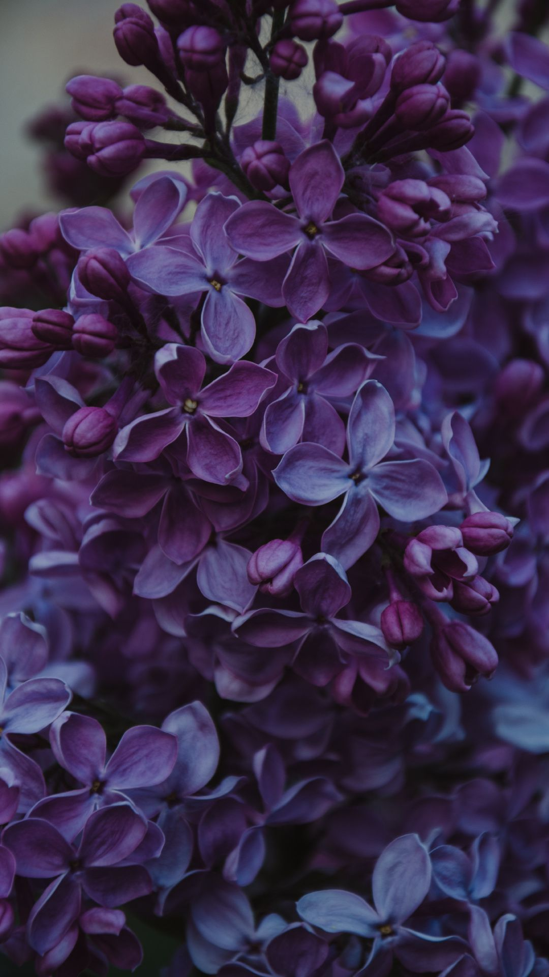 Wallpapers spring, lilac, plant, flowering plant, flower