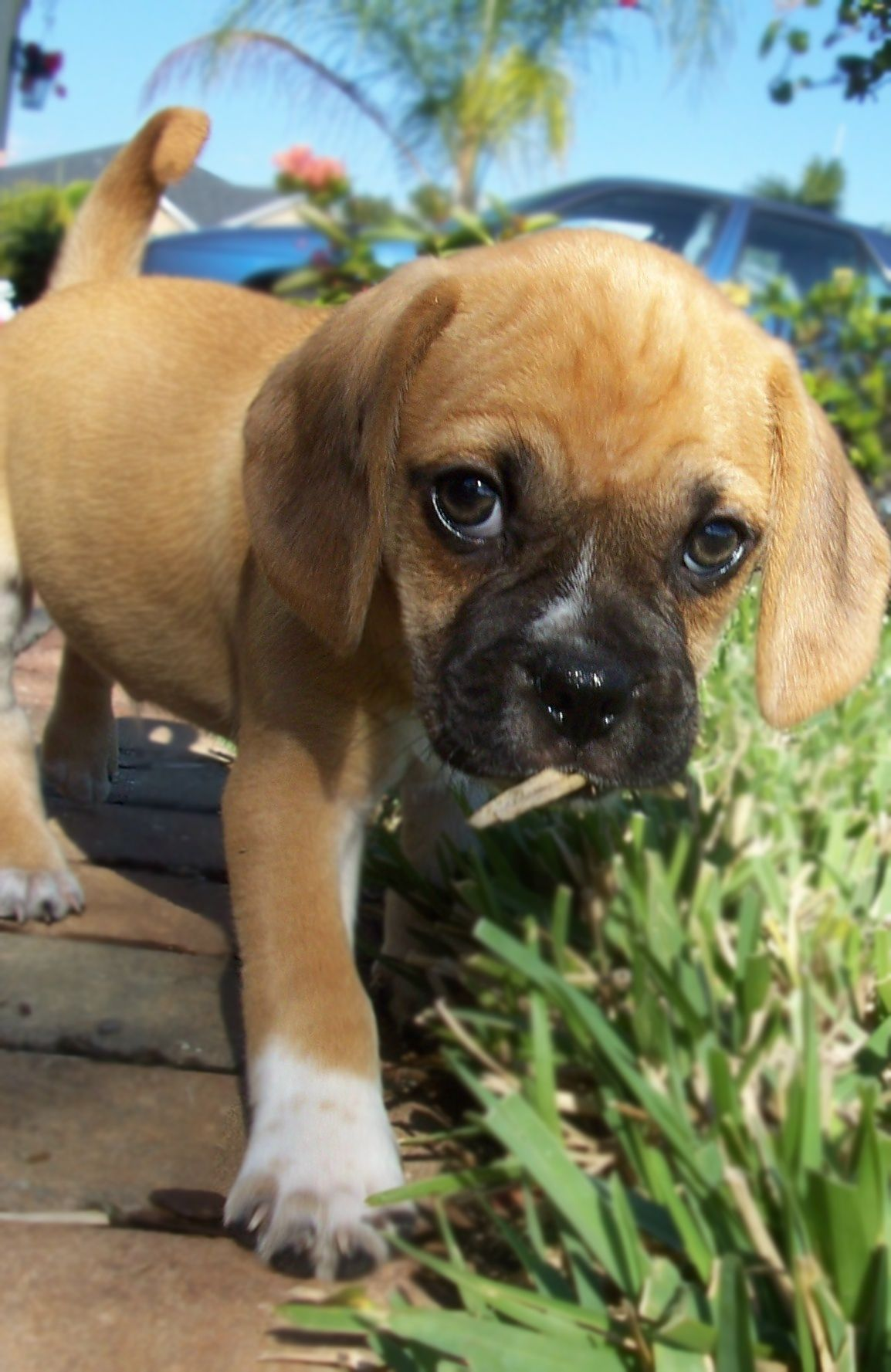 Puggle Puppy Puggle Puppies Cute Dogs And Puppies Puppies And