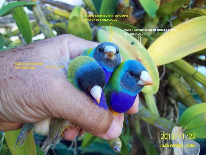 Pin On Gouldian Finch