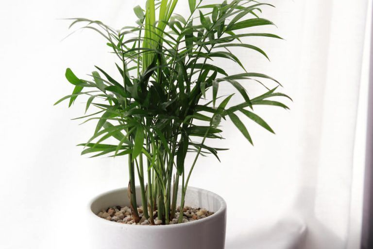areca palm care watering