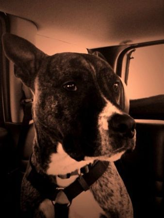 This is my friends pitbull. He was lost Saturday near ...