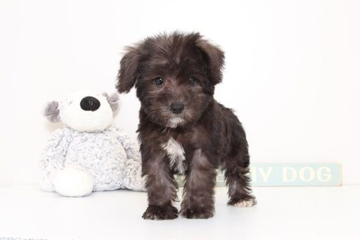 Schnoodle Miniature Puppy For Sale In Naples Fl Adn 51838 On Puppyfinder Com Gender Male Age 14 Weeks Old Miniature Puppies Schnoodle Puppy Schnoodle