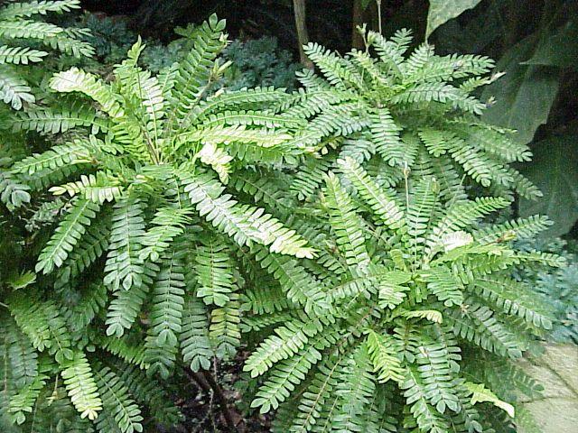 Biophytum sensitivum (Oxalidaceae) image 31709 at