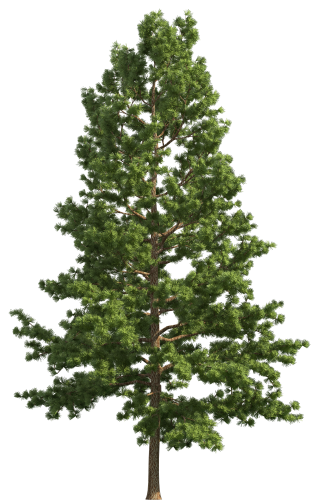 Pine Realistic Tree Png Clip Art Best Web Clipart Tree Photoshop Watercolor Trees Tree Psd