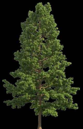 Pine Realistic Tree Png Clip Art Best Web Clipart Tree Photoshop Photoshop Landscape Watercolor Trees