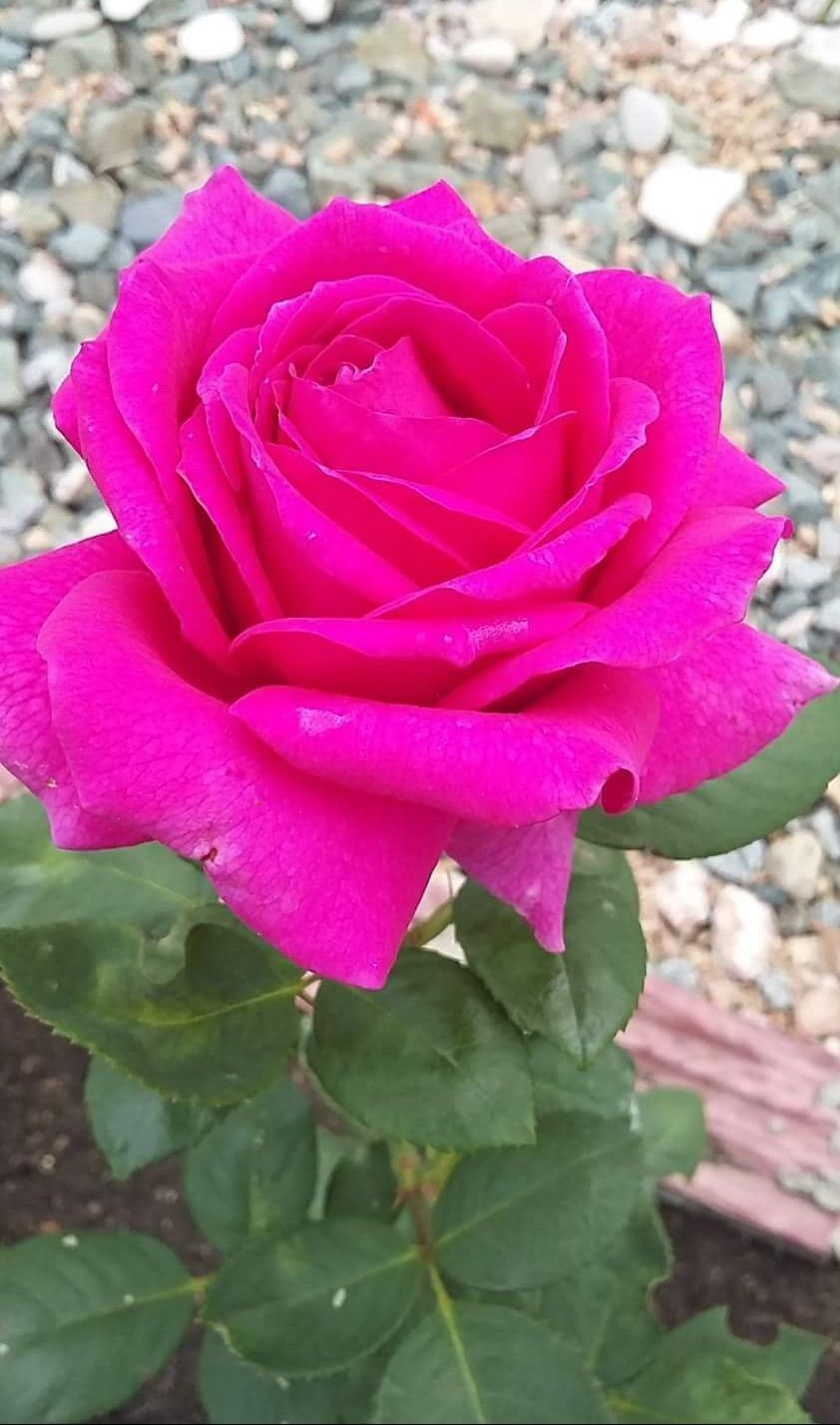 Pin By Manu T On Flowers With Images Beautiful Rose Flowers