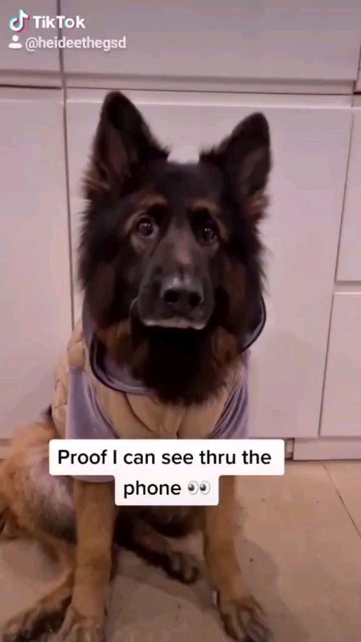 heideethegsd on Instagram: Am I right? . . . . #dog#gsd#germanshepherd #gsdofig#gsdstagram #germanshepherddog #germansgepherdsonline #gsdlover #puppy #kylie#doggy…