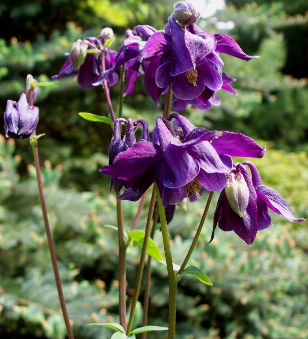 Columbine bulgarian deep purple courtyard shade garden columbine bulgarian deep purple dhlflorist Gallery