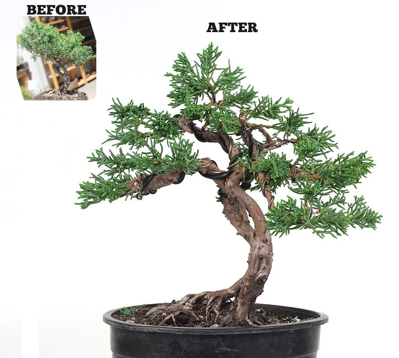 wiring and design can help transform a juniper bush into a unique rh pinterest at Rosemary Bonsai Pine Bonsai