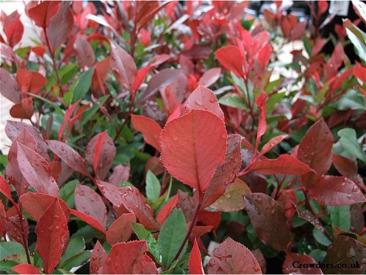 photinia x fraseri little red robin shrub image 1 new. Black Bedroom Furniture Sets. Home Design Ideas