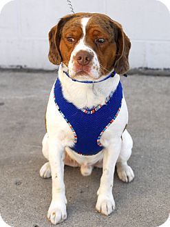 Baxter Foster Needed A Spaniel Beagle Mix For Adoption In
