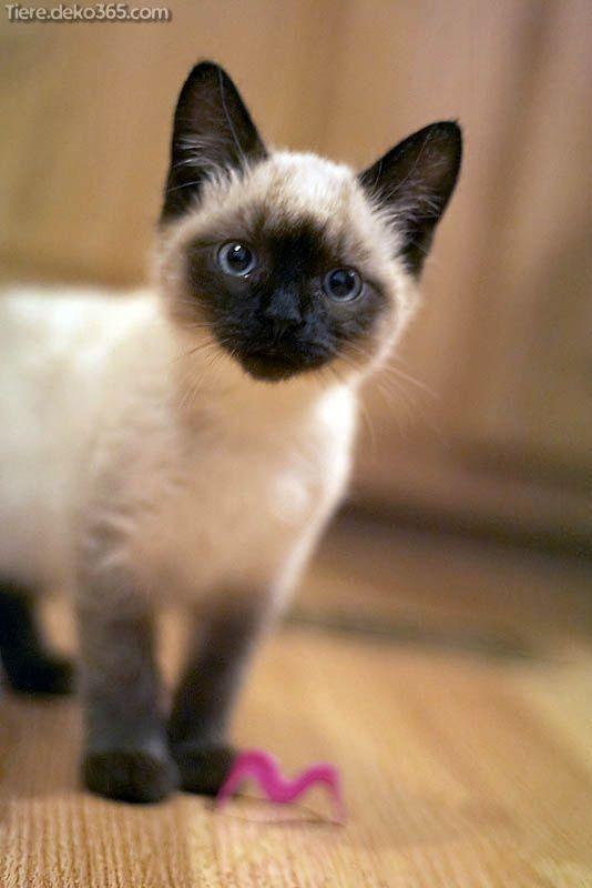 Spektakulär Faszinierende Fakten extra siamesische Katzen  #extra #fakten #faszinierende #katzen #siamesische