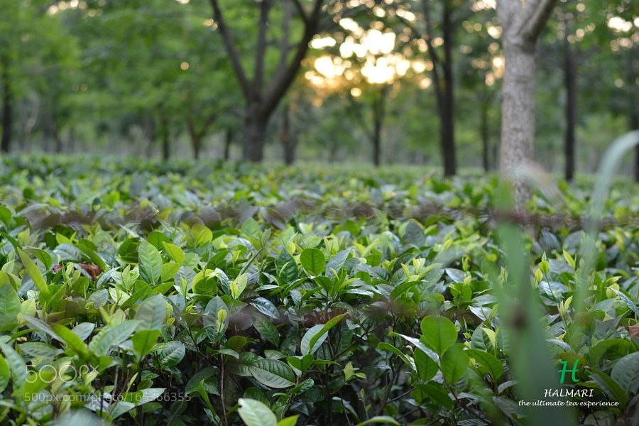 Pic Tea Garden In Assam Garden Tea Best Tea