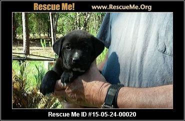 Florida Lab Rescue Adoptions Rescueme Org Lab Rescue Lab
