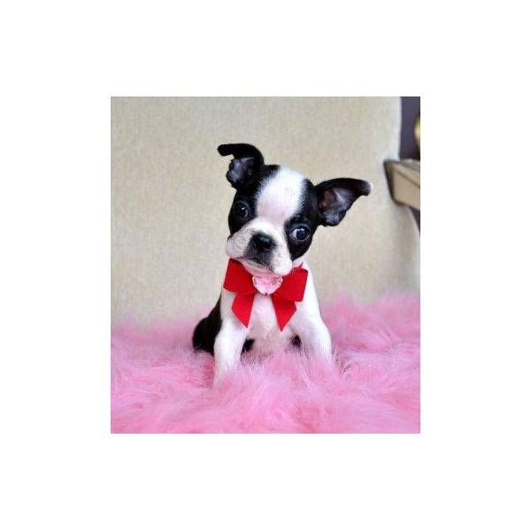 How Cute Is This Boston Terrier Puppy Boston Bull Terrier Boston Terrier Dog