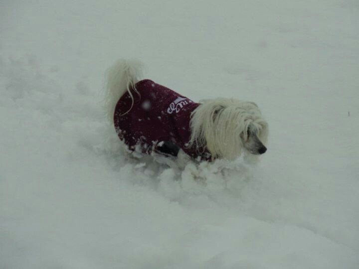 Truble with short dog in deep snow