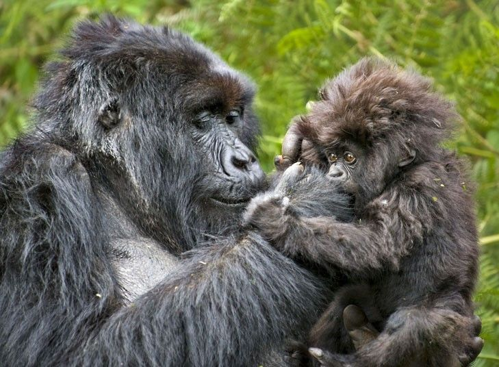 A mountain gorilla mother cares for its young  in the Virunga National Park, Rwanda