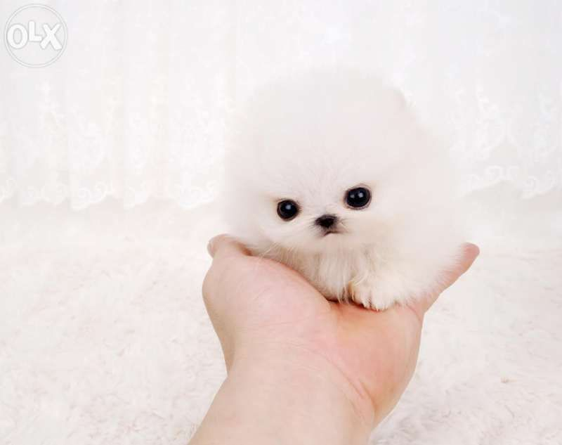 Best PERROS POMERANIAN Images On Pinterest Baby Animals - Someone should have told this dog owner that pomeranians melt in water