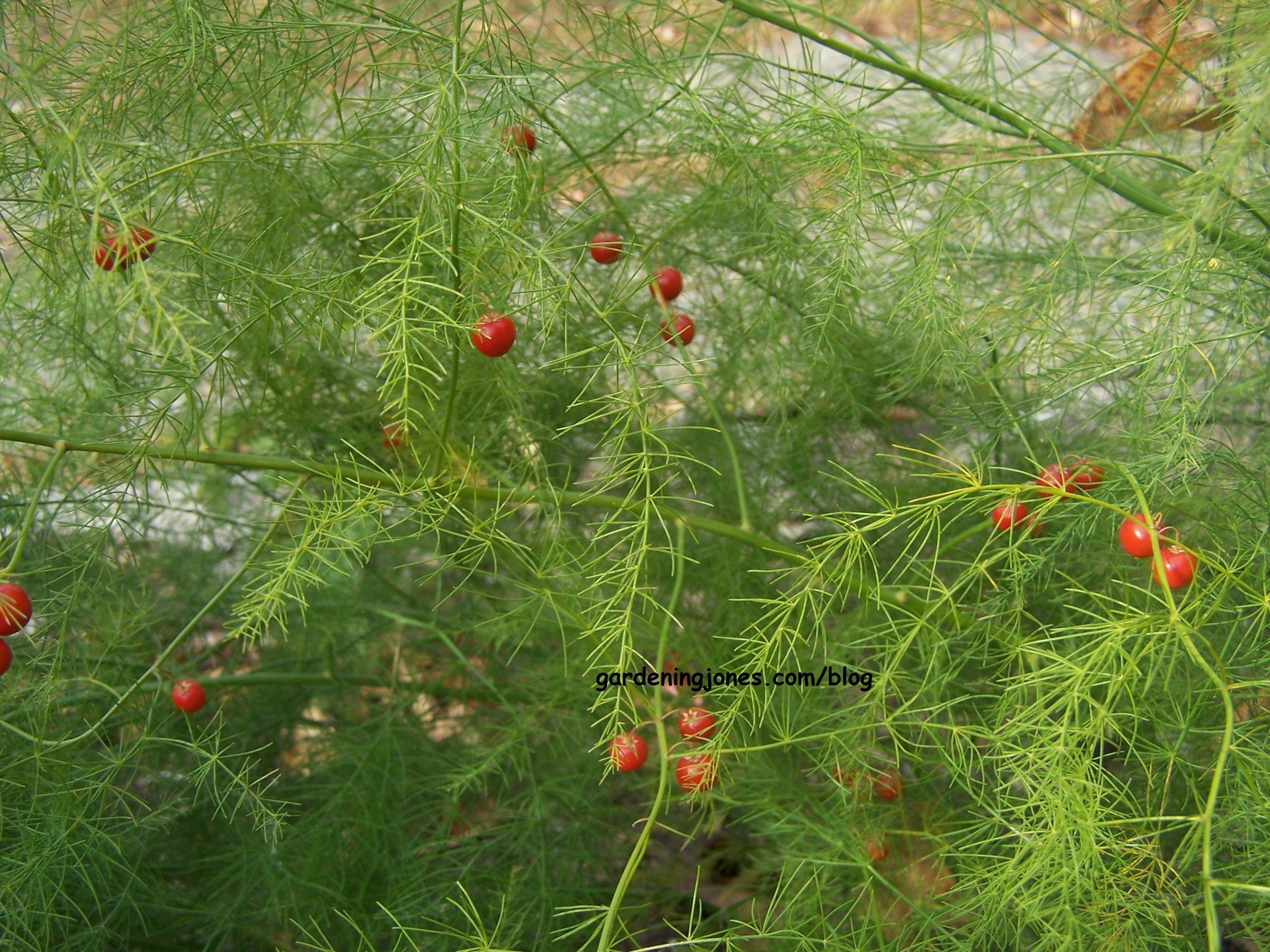 Asparagus Fronds And Berries Growing Asparagus Asparagus Garden Asparagus