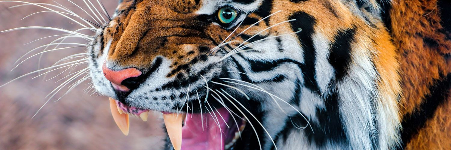Snarling Tiger Twitter Cover Twitter Background Tiger Wallpaper Wild Animal Wallpaper Pet Tiger