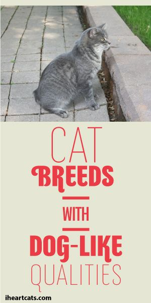 Cat Breeds With Dog-Like Qualities #catbreeds