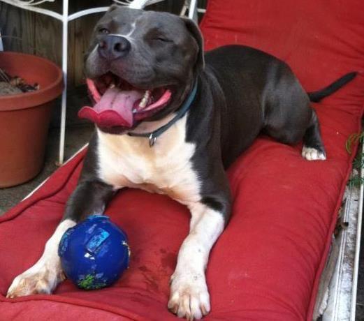 Pitbulls, Smiling Dogs, Pitbull