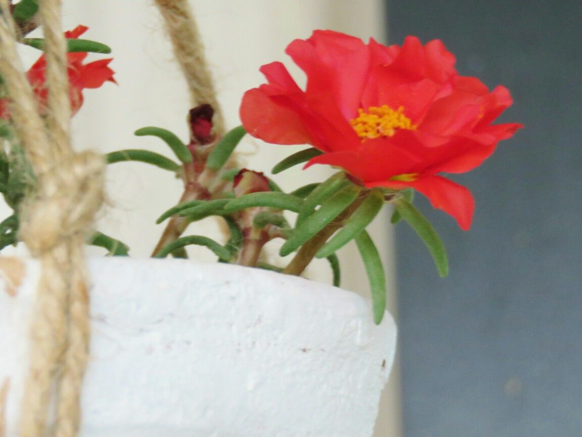 Another close up of office time flower. The flowers buds open up after 10 am and go back into a bud after evening