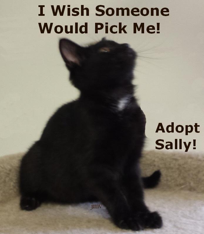 Meet Sally, a Petfinder adoptable Domestic Short Hair