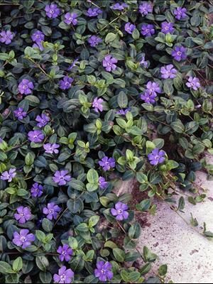 """Vinca minor 'Bowles' Variety' ('La Grave')  """"weed-smothering, evergreen groundcover with dark green leaves. From mid to late spring, intense blue-violet flowers appear just above the foliage, creating a tranquil effect.  Mow them in the fall for fuller plants with fresh foliage"""":"""