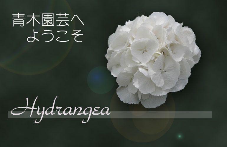 青木園芸 - ハイドランジア ブラックベリー ホワイトレース ゼラニウム