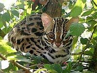 Iriomote Cat A Subspecies Of The Leopard Cat Living Exclusively On
