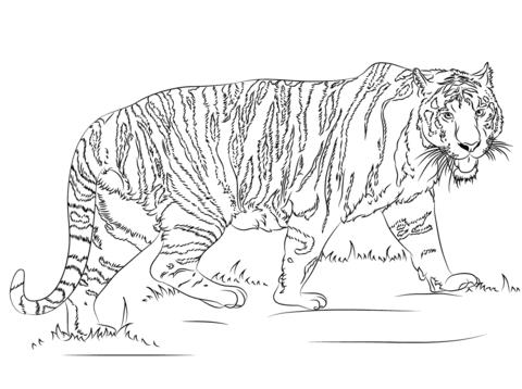 Ausmalbild Gehender Tiger Ausmalbilder Kostenlos Zum Ausdrucken Animal Coloring Pages Coloring Pages Tiger Drawing