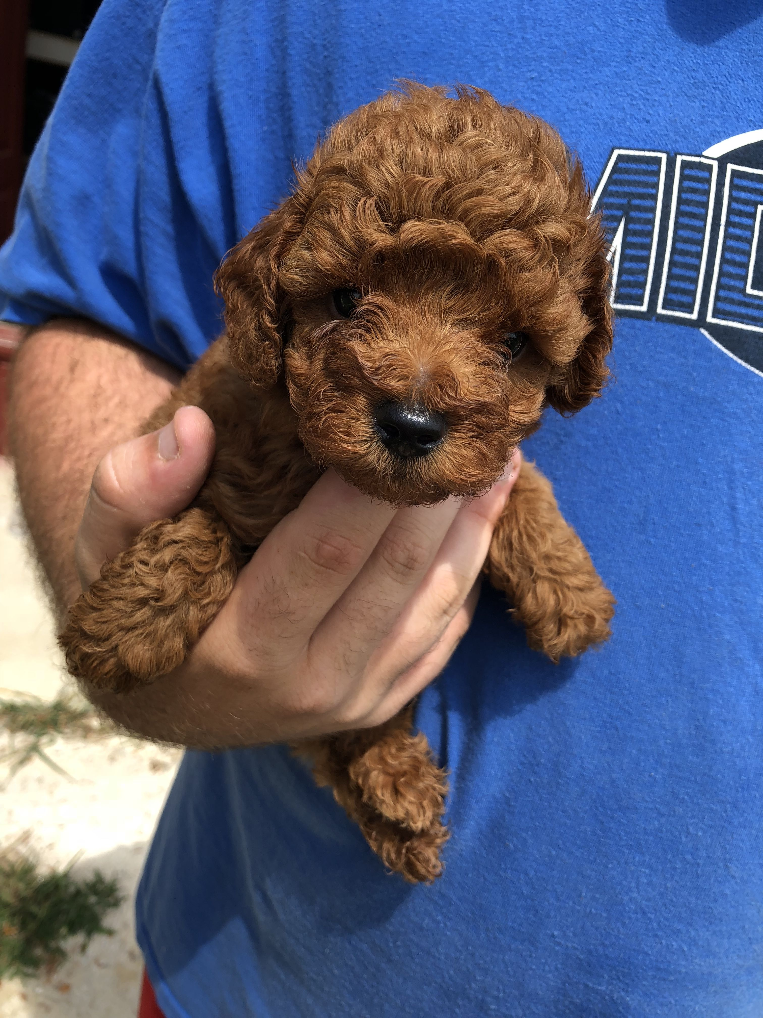 We Raise Toy Poodle Puppies We Are A Very Small Family Owned