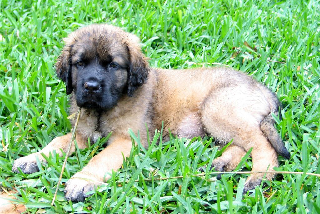 Fluffy English Mastiff Puppy English Mastiff Puppies Mastiff