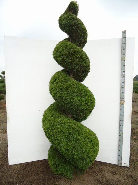 thuja occidentalis smaragd spirale in der gr e 250 300cm tolle gartenpflanzen in spiral form. Black Bedroom Furniture Sets. Home Design Ideas