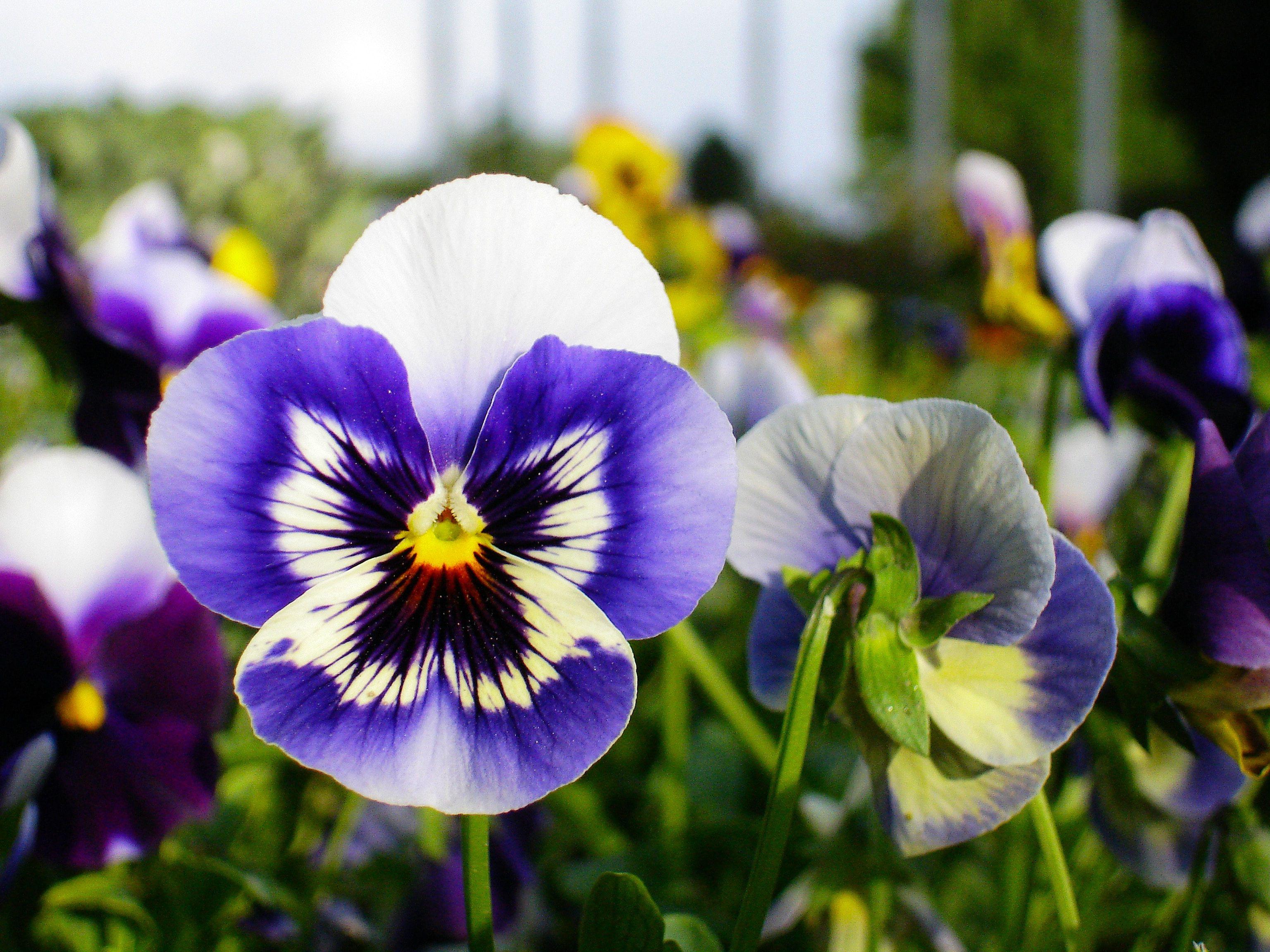 Pansies In 2020 Edible Flower Garden List Of Edible Flowers Autumn Garden
