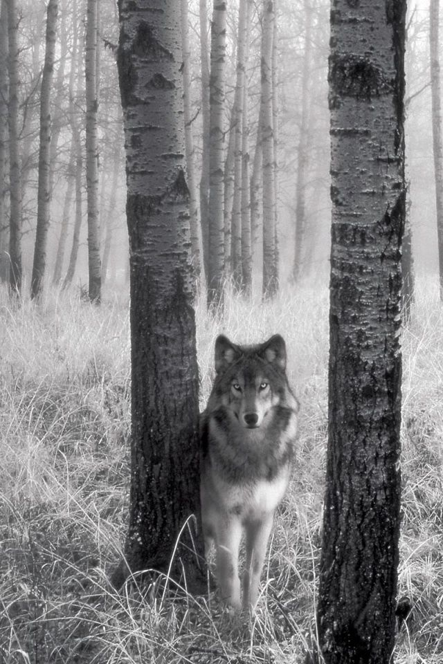 Wolf In The Woods Iphone 4s Wallpaper Iphone 4 S Wallpapers