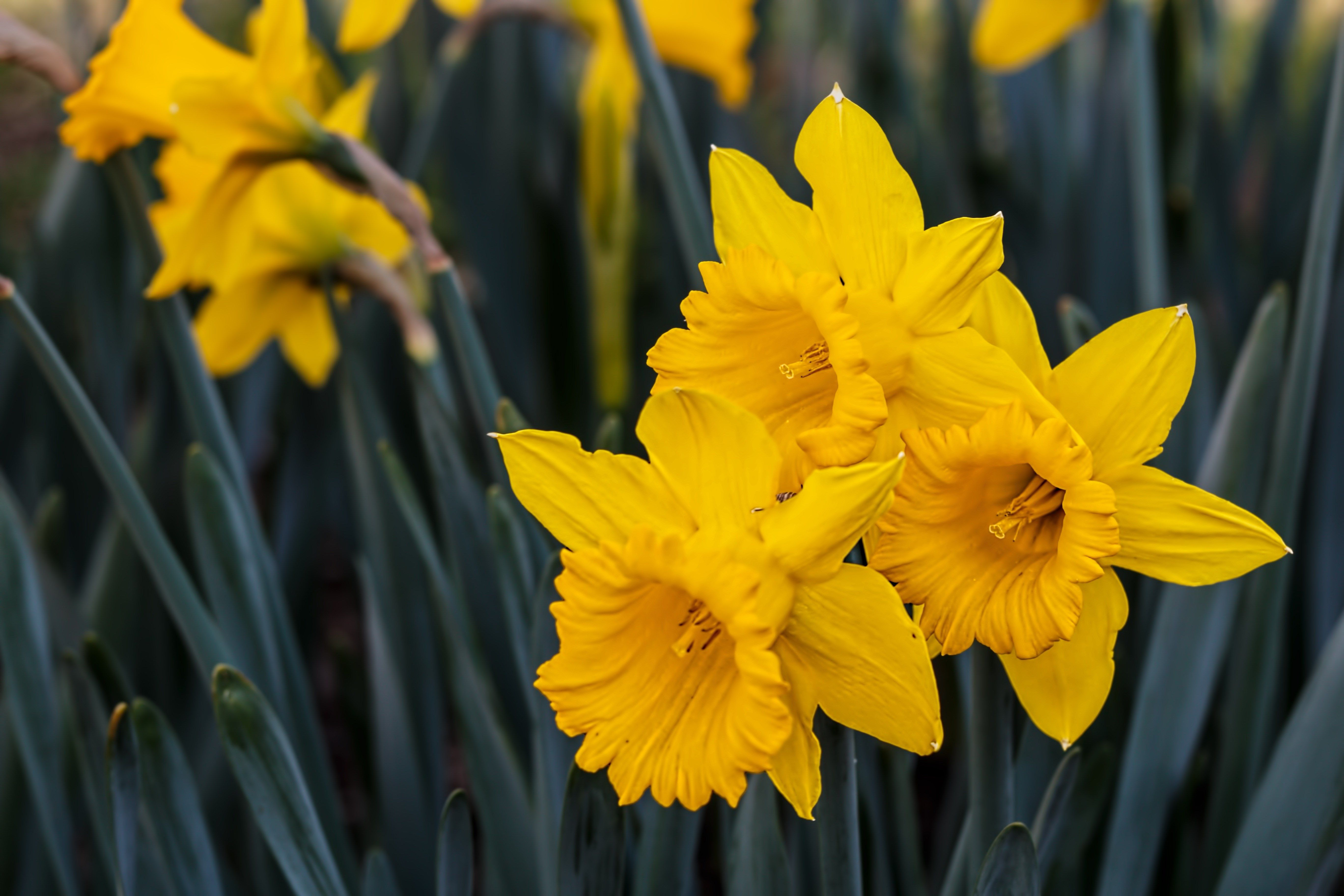 5472x3648 Amazing Daffodil Daffodils Narcissus Spring Images